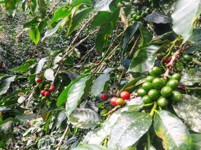 Cafetales en Colombia