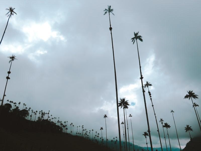 palmas de cera valle del cocora colombia